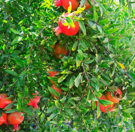 Close up of Ripe pomegranates on tree
