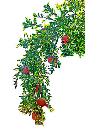 Pomegranates on branch isolated on white background