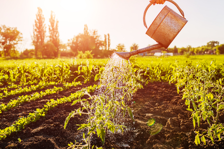 Watering tomato sprouts from a watering can at sunset in countryside. Agriculture and farming concept. Organic farm