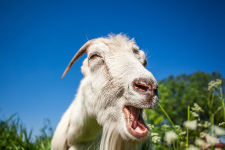 Portrait of a goat chewing grass on the field. Farm. Domestic animals