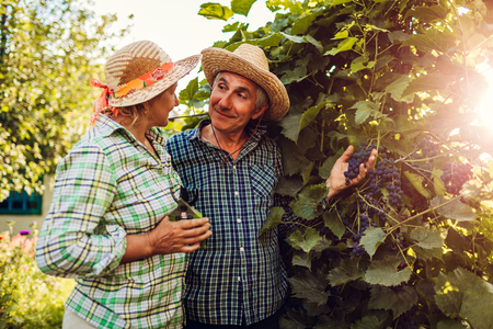 Couple of farmers checking crop of grapes on ecological farm. Happy senior man and woman gather harvest. Gardening Stock Photo