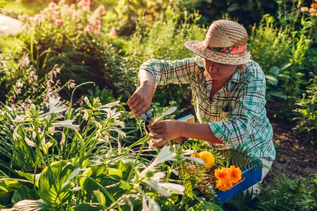 Senior woman gathering flowers in garden. Middle-aged woman cutting flowers off using pruner. Gardening concept. Lifestyle