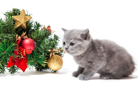 Little british kitten with Christmas decoration isolated on white background. Christmas and New Year concept