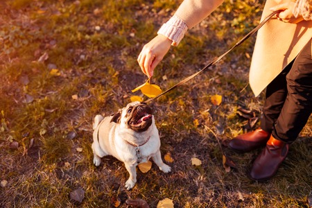 Master playing with pug dog in autumn park. Happy puppy lying on grass by man's legs. Dog having fun outdoors Stockfoto