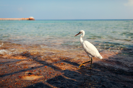 White egret walking on beach in Egypt. Heron looking for food. Wildlife of birds