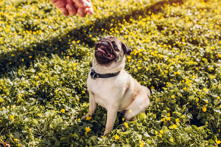 Man walking pug dog in spring forest and holds food in hand. Happy puppy sitting among yellow flowers waiting for orders of its master