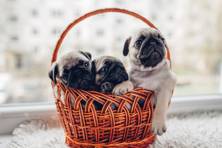 Pug dog puppies sitting in basket on window sill. Little puppies having fun. Breeding dogs