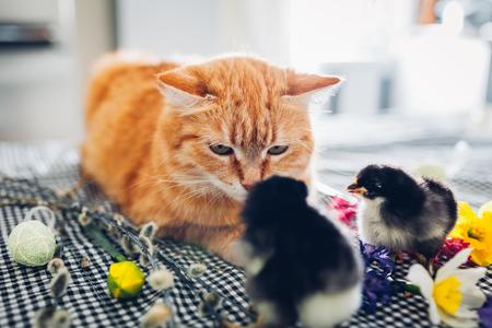 Pollo de Pascua jugando con gato amable. Pollitos valientes caminando por gato jengibre entre flores y huevos de Pascua. Amigos
