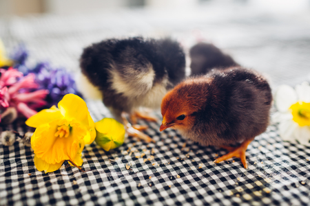 Easter chickens. Little black chicks walking among spring flowers and Easter eggs. Friendly family