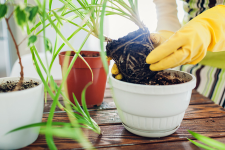 Woman transplanting plant into another pot on kitchen. Housewife taking care of home plants and flowers. Gardening