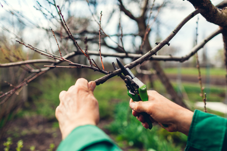 Man worker pruning tree with clippers. Male farmer wearing uniform cuts branches in spring garden with pruning shears or secateurs
