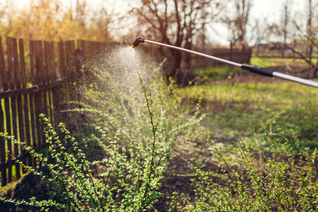 Farmer spraying gooseberry bush with manual pesticide sprayer against insects in spring garden. Agriculture and gardening concept Stockfoto