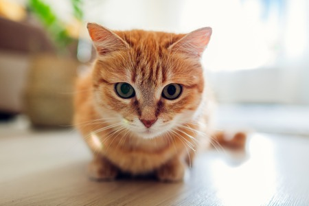 Ginger cat sitting on floor in living room and looking at camera. Close up