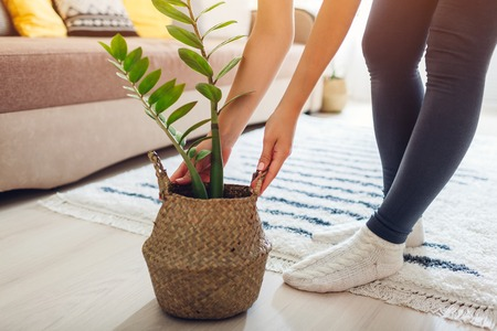 Young woman puts ZZ plant in straw basket. Interior decor of living room. Home plants care
