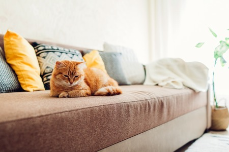 Ginger cat lying on couch in living room. Sleepy pet relaxing at home Reklamní fotografie