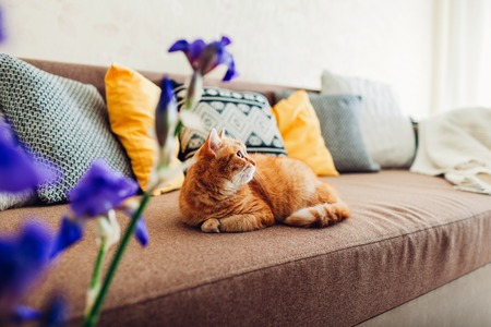 Ginger cat lying on couch in living room by purple flowers. Pet relaxing at home