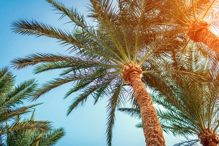 Palm trees and against blue sky at sunset. Low angle. Tropical background Reklamní fotografie
