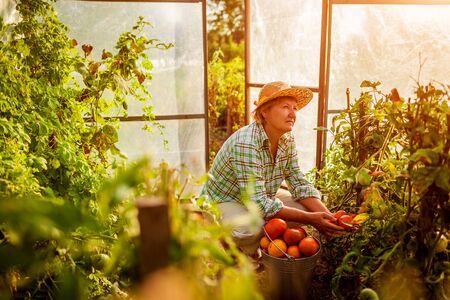 Senior vrouw boer oogst tomaten bij kas op eco-boerderij. Landbouw, tuinieren concept. Werken in kas