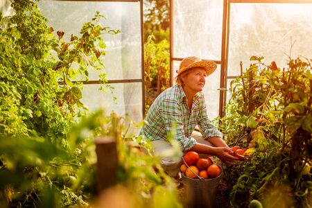 Senior woman farmer gathering crop of tomatoes at greenhouse on eco farm. Farming, gardening concept. Working in hothouse