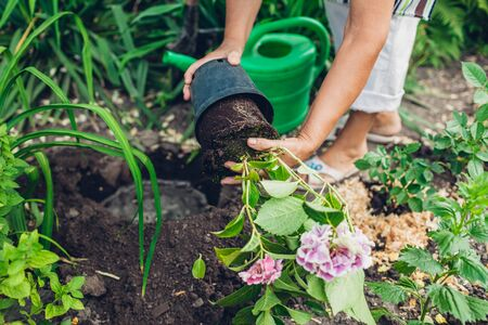 Woman gardener transplanting hydrangea flowers from pot into wet soil after watering it with watering can. Summer garden work. Imagens