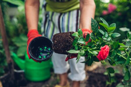 Woman gardener transplanting roses flowers from pot into wet soil after watering it with watering can. Summer garden work. Imagens