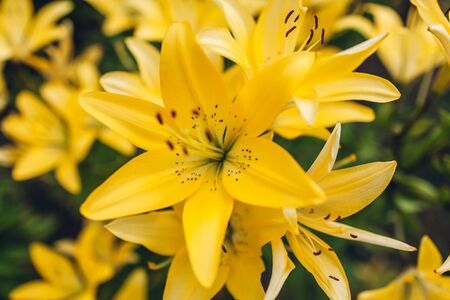 Yellow asiatic hybrid lilies. Bouquet of fresh flowers growing in summer garden. Gardening concept. Background