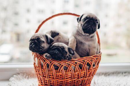 Pug dog puppies sitting in basket on window sill. Little puppies having fun. Breeding dogs