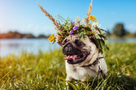 Pug dog wearing flower wreath by river. Happy puppy chilling outdoors on summer field showing tongue Archivio Fotografico - 130649785
