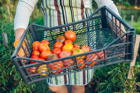 Woman farmer holding box of red tomatoes on eco farm. Gathering autumn crop of vegetables. Farming, gardening. Harvest time