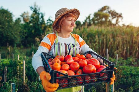 Woman farmer holding box of red tomatoes on eco farm. Gathering autumn crop of vegetables. Farming, gardening. Harvest time Stock fotó