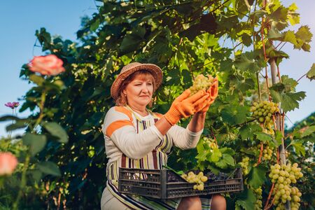 Farmer gathering crop of grapes on ecological farm. Woman cuts green table grapes with pruner and puts it in box. Gardening, farming concept