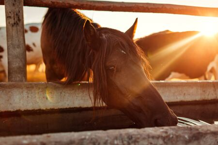 Brown horse drinking water in stable at sunset. Thirsty animal looking at camera. Farming in countryside 版權商用圖片