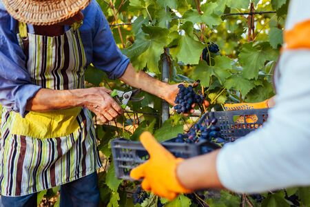Couple of farmers gather crop of grapes on ecological farm. Happy senior man and woman putting grapes in box. Gardening