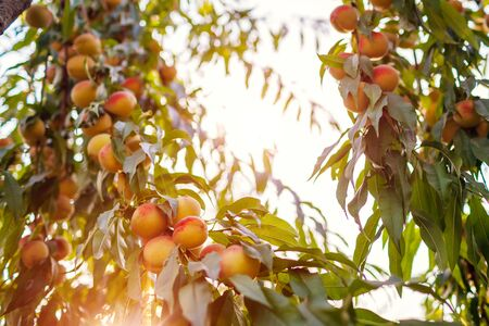 Ripe peaches hanging on tree in autumn orchard. Fresh organic fruits grow in garden. Harvesting time