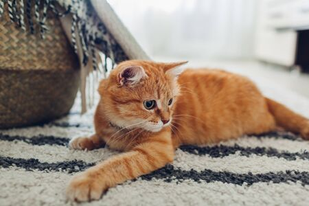 Ginger cat lying on floor carpet at home. Pet playing and feeling comfortable having fun
