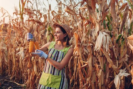 Corn crop. Young woman farmer checking and picking corn harvest. Worker holding autumn corncobs. Gardening Stockfoto