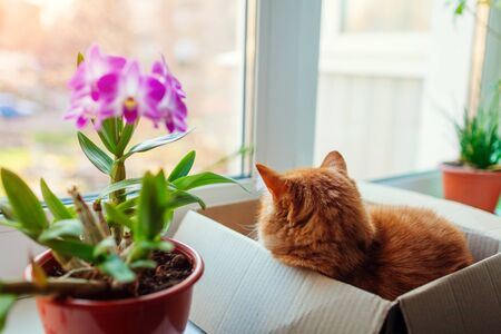 Ginger cat lies in carton box on window sill and looks at street. Pet relaxing by flowers plants at home.