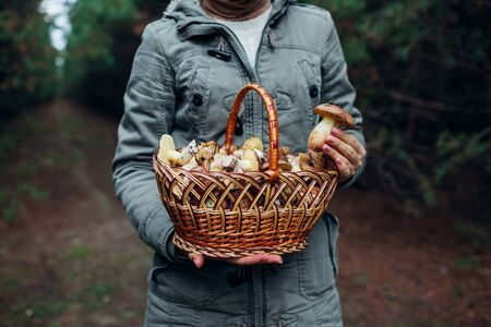 Woman holds basket of oily mushrooms in autumn forest. Picking up fresh organic Slippery Jack mushrooms. Fall activities. Close up Stockfoto