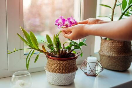 Dendrobium orchid. Woman taking care of home plats. Close-up of female hands holding flowers. Interior decor Stockfoto