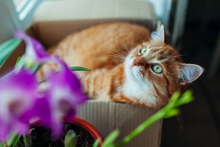 Ginger cat lying in carton box on window sill at home. Pet relaxing by plants looking up Stockfoto