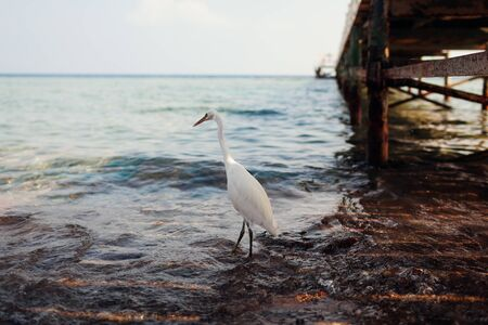 White egret walking on beach by pier in Egypt. Heron looking for food. Wildlife of birds Stockfoto