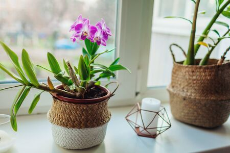 Dendrobium orchid. Home plats growing on window sill. Interior decor of apartment with flowers Stockfoto