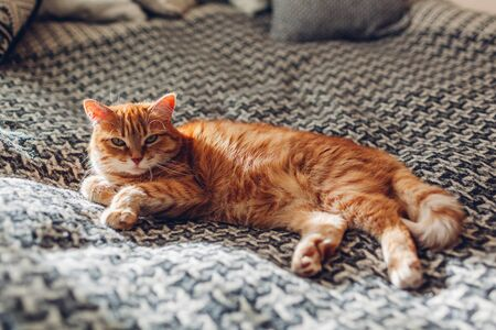Ginger cat relaxing on couch in living room lying on blanket. Pet enjoying sun at home