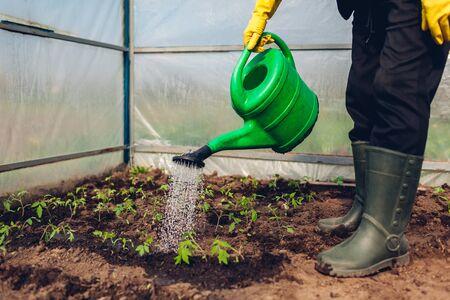 Farmer watering tomato seedlings using watering can in spring greenhouse. Agriculture Zdjęcie Seryjne
