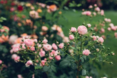 Beautiful pink roses bushes blooming in summer garden. Fresh flowers in blossom growing on lawn in park. Archivio Fotografico