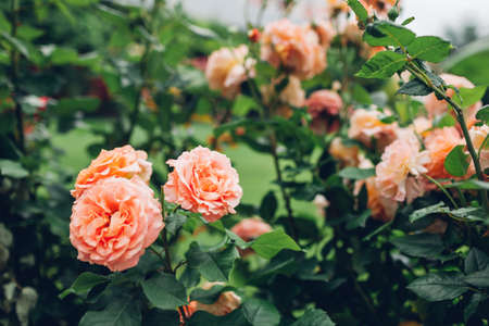 Beautiful orange roses bushes blooming in summer garden. Fresh flowers in blossom growing on lawn in park.