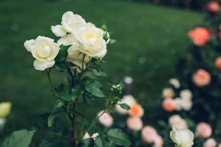 Beautiful white roses bushes blooming in summer garden. Fresh flowers in blossom growing on lawn in park.
