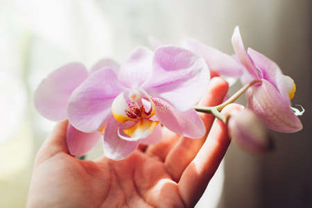 Purple orchid phalaenopsis. Woman taking care of home plants. Close-up of female hands holding violet flowers