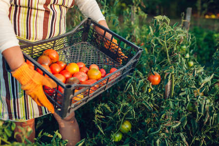 Woman farmer gathering red tomatoes on eco farm putting them in box. Autumn crop of vegetables. Gardening, farming. Harvest time
