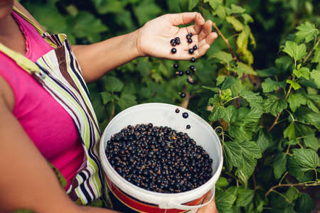 Gardener holding bucket with blackcurrant throwing picked berries in summer garden. Woman gathered eco crop on farm. Nature gift Archivio Fotografico